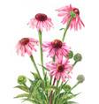 echinacea watercolor botanical on white vector image