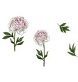 set with gently pink peony flowers leaves vector image vector image