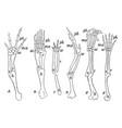 forearms of vertebrates vintage vector image vector image