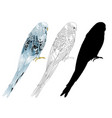 budgerigar blue pet parakeet or shell parakeet vector image vector image
