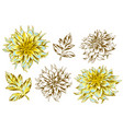 set of fluffy yellow dahlias and leaves vector image