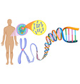 Human DNA in close up vector image vector image