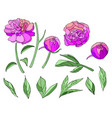 pink flower peony elements set vector image