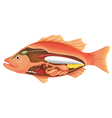 Anatomy of a Fish vector image vector image