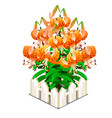 blooming orange lilies in the middle of fence vector image