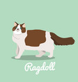 ragdoll cat looking something vector image vector image