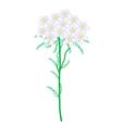 Yarrow Flowers or Achillea Millefolium Flower vector image