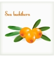 Sea buckthorn with green leaves vector image vector image