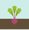 beetroot vegetable with root in soil texture flat vector image vector image