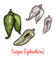 cyclanthera pedata vegetable or fruit sketch vector image vector image