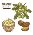 shea tree branch nuts and shea butter isolated on vector image vector image