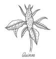 quinoa seed branch vector image vector image
