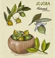 set of organic jojoba fruit vector image vector image