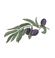 detailed botanical drawing of olive tree branch vector image vector image