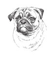pug hand drawing portrait vector image vector image