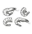 shrimp sketch seafood food vintage vector image vector image