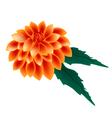 Orange Dahlia Flower on A White Background vector image vector image