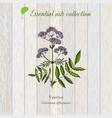 valerian essential oil label aromatic plant vector image vector image