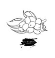 sea buckthron drawing isolated berry vector image vector image