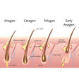 Human head hair growth cycle Biological catagen vector image