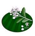 Fresh Calotropis Gigantea Flowers on Banana Leaf vector image vector image