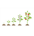 growth of plant from sprout to fruit vector image vector image