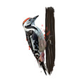 woodpecker from a splash watercolor colored vector image vector image