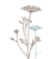 umbellate plant vector image