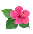 hibiscus flower bloom with green leaves dew drops vector image vector image