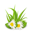 camomile flowers with grass on white background vector image vector image