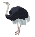 ostrich bird detalised on white background in vector image
