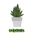 calathea on cement flowerpot vector image
