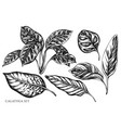 set hand drawn black and white calathea vector image