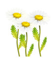 realistic daisy chamomile flower set vector image