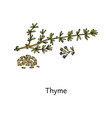 spicy thyme plant seeds and leaves sketch vector image