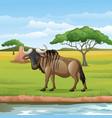 cartoon wildebeest in savannah vector image vector image