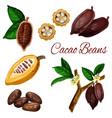 cocoa beans cacao pod plant chocolate ingredient vector image vector image