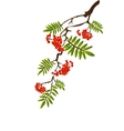 berries of red viburnum with leaves vector image