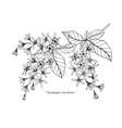sandpaper vine flower drawing vector image