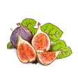 Figs Watercolor imitation with sketch vector image vector image