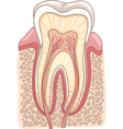 Tooth Section Medical vector image vector image