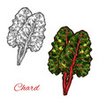 chard or beet spinach green leaf vegetable sketch vector image vector image