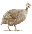 engraving guineafowl vector image vector image