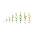 growth stages of maize plant corn phases vector image