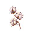 watercolor cotton branch isolated vector image
