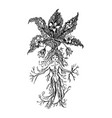 mythical mandrake plant in vintage style fantasy vector image vector image