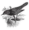 sedge warbler vintage vector image vector image