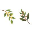 set olives fruit olive tree branch vector image vector image