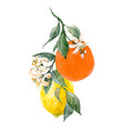 watercolor citrus fruits vector image vector image