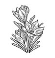 crocus flower sketch engraving vector image